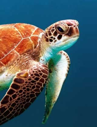 photo of a sea turtle in the dry tortugas