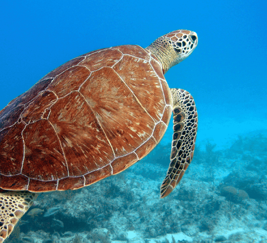 A laggerhead turtle swimming a reef in the Dry Tortugas