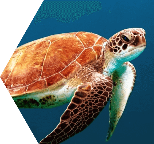 photo of sea turtles at dry tortugas