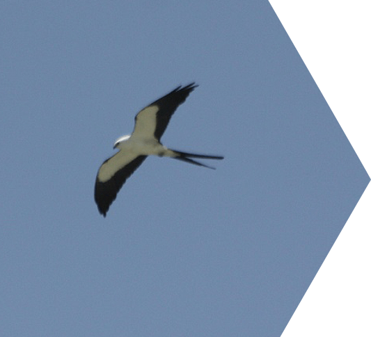 photo of swallow tailed kite bird
