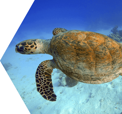 Photo of Kemps Ripley Sea Turtle