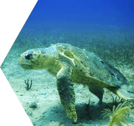 Photo of Loggerhead Sea Turtle