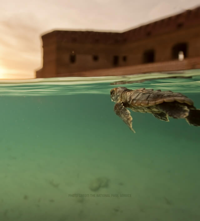 photo of a sea turtle in the dry tortugas Mobile