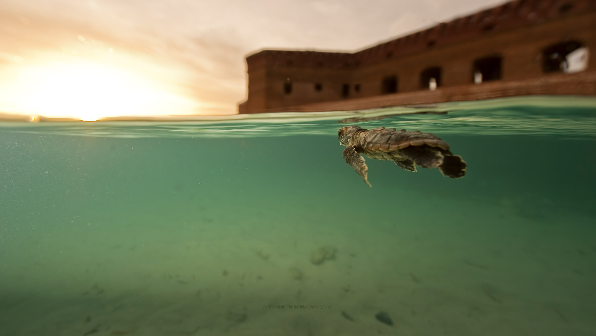 photo of a sea turtle in the dry tortugas Desktop